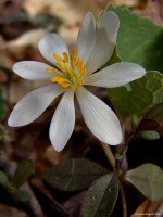 bloodroot flower picture